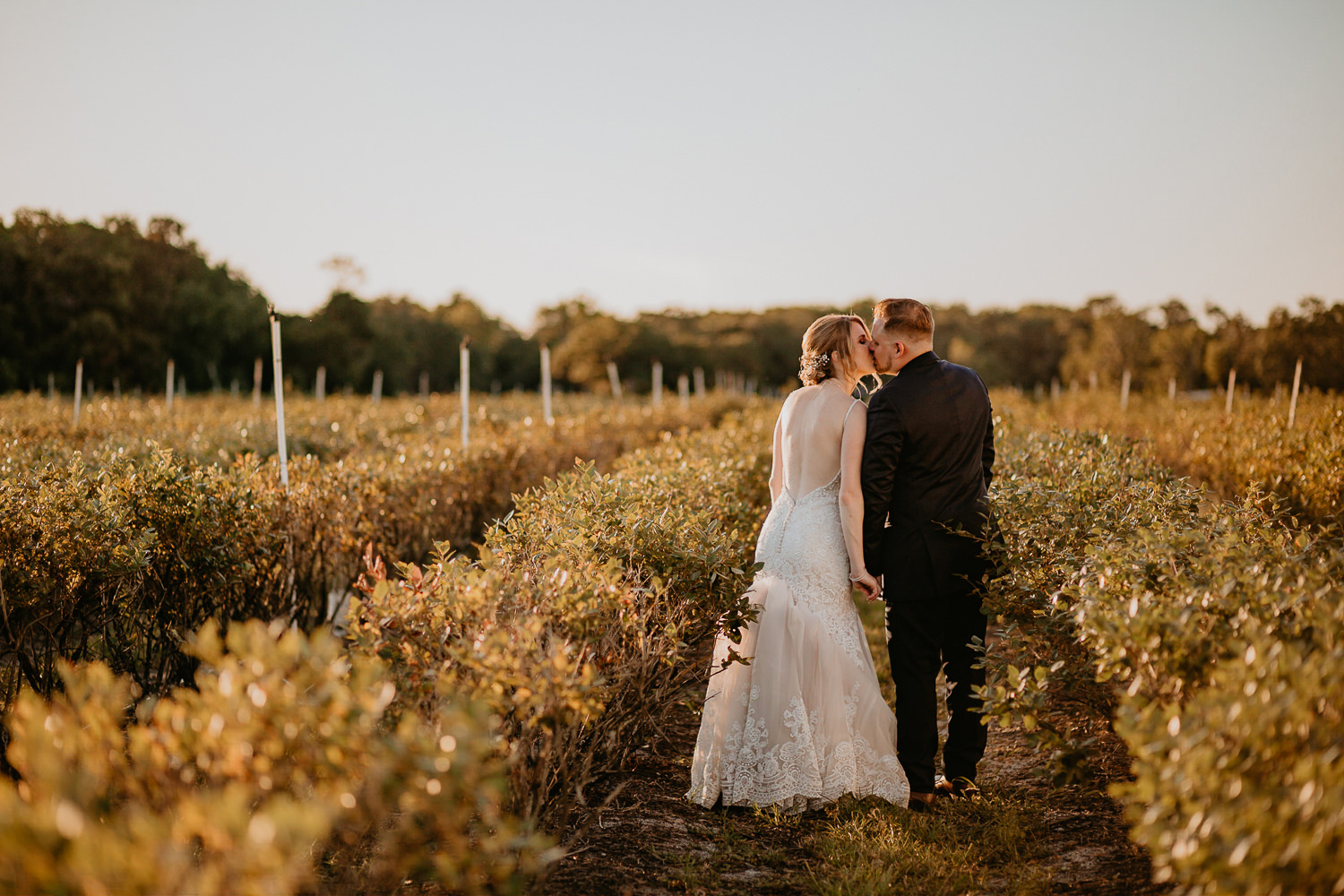 newlyweds in the middle of the blueberry farm kissing during sunset